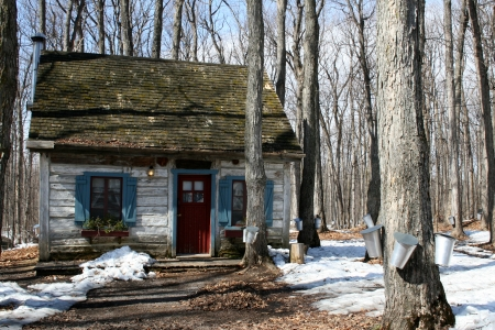 Heritage cottage with pails on maple trees to collect sap for maple syrup Editorial