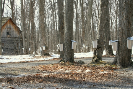 Forest of maple trees with buckets collecting sap for maple syrup