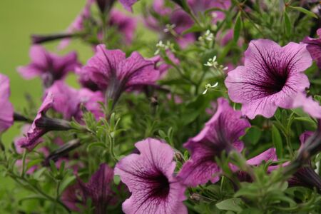 mauve: Mauve and purpe petunia flowes