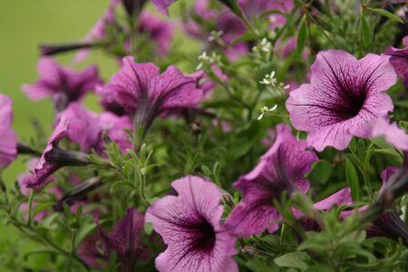 Mauve and purpe petunia flowes