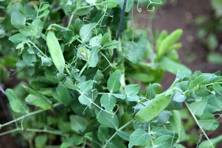Growing plant with pea pods in garden