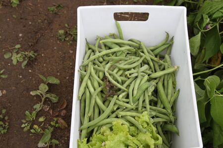 Harvest basket of peas, beans and leaf lettuce