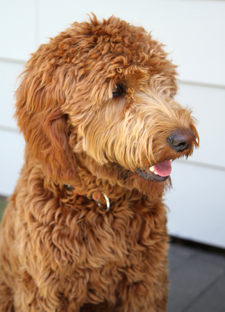 Golden poodle doodle of  a mixed breed of poodle and irish setter Stock Photo