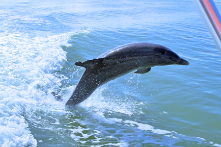 Bottlenose dolphin leaping out of the water Stock Photo