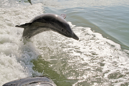 bottlenose: Bottlenose dolphin leaping out of the water Stock Photo