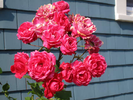 Bright pink rose plant against blue grey background