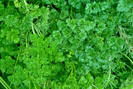 Closeup of a bunch of green parsley Stock Photo
