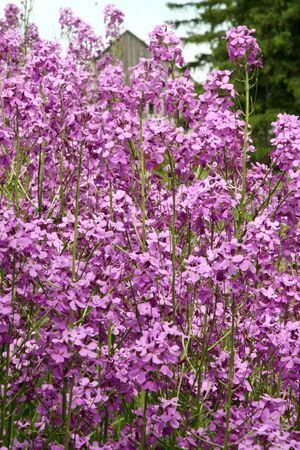 Mauve blooming phlox flowers in summer garden Stock Photo