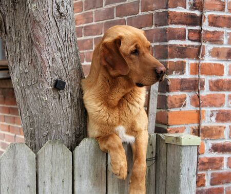 retreiver: Brown golden retriever dog with paws over a grey fence against brick wall