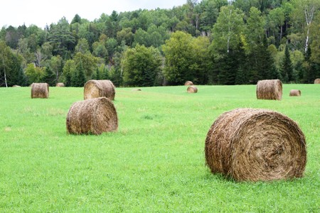 Field Of Rolled Hay