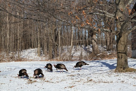 Wild Turkeys In Snow eating fallen seeds with trees in background Stock Photo