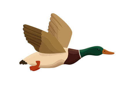 Duck from swamp isolated icon in cartoon style, flying bird for hunting colorful vector illustration.