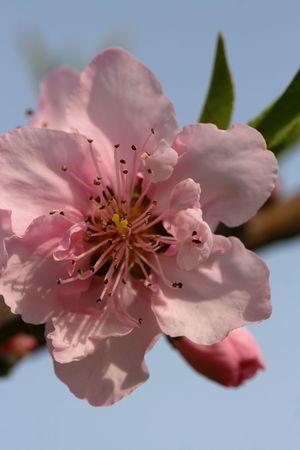 ネクタリンの花 写真素材