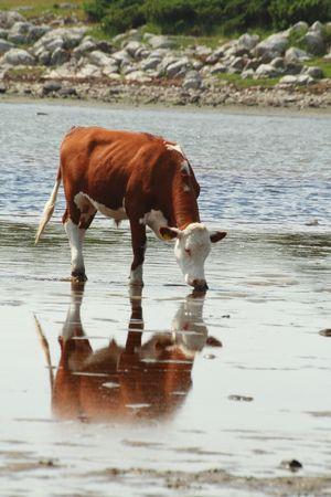 seawater: seawater drinking cow