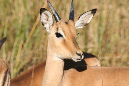 impala: Impala