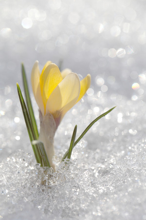 Shiny white snow background. Crocus blooms on a winter sunny day.