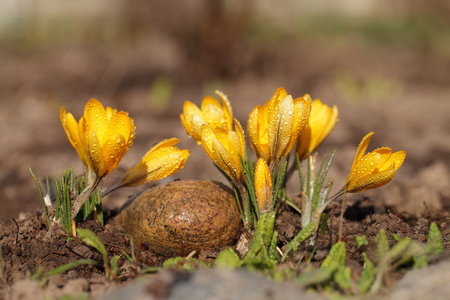 Crocuses yellow grow in the spring. Drops of dew on beautiful primroses.