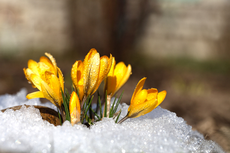 Crocuses grow under snow on a spring sunny day. Beautiful yellow primroses in the garden.
