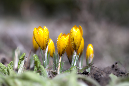 Crocus blossomed in the spring in the garden on a sunny warm day. A beautiful yellow flower grows in the open ground.
