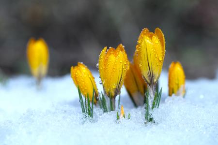 Crocus jaune pousse dans un jardin de printemps dans la neige. Belle primevère avec des gouttes de rosée sur fond vert.