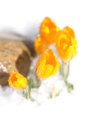 Crocus yellow grows in a spring garden in the snow. Beautiful primrose with drops of dew on a green background.