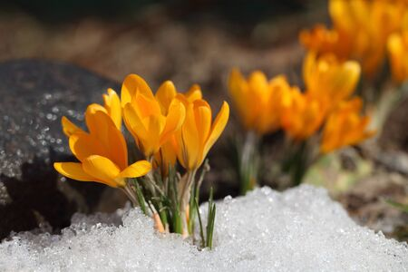 Crocus in the snow and rock background in a spring sunny day for a card for Easter.