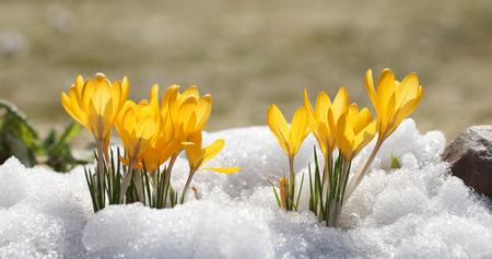 Krokussen gele bloesem op een zonnige lentedag in de open lucht. Mooie primula's tegen een achtergrond van schitterende witte sneeuw.