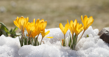 Les crocus fleurissent jaune par une journée ensoleillée de printemps en plein air. Belles primevères sur fond de neige blanche brillante.