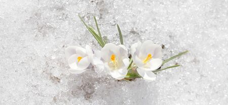 Crocuses white blossom on a spring sunny day in the open air. Beautiful primroses against a background of brilliant white snow.