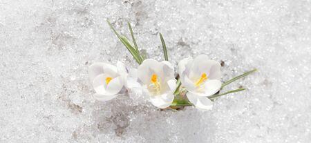 Les crocus fleurissent blanc par une journée ensoleillée de printemps en plein air. Belles primevères sur fond de neige blanche brillante.