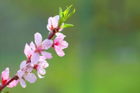 Sakura flowers, pink beautiful peach tree inflorescences. Bright natural background for wallpapers in pink and green bright shades.