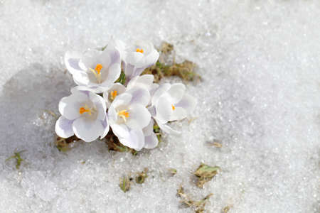 Spring flowers - white crocuses bloom in the park in April, a beautiful template for a web screensaver. Snow shiny cover melts near primroses, Easter card design. 版權商用圖片