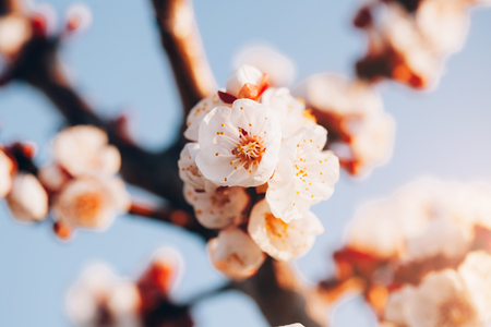 Macro of spring blooming apricot tree on sunset background. Imagens