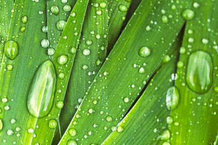 Green fresh leaves with raindrops. Close up background. Banque d'images - 127123115