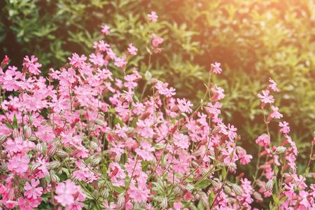 Pink blossom flowers in garden. 写真素材 - 134737882