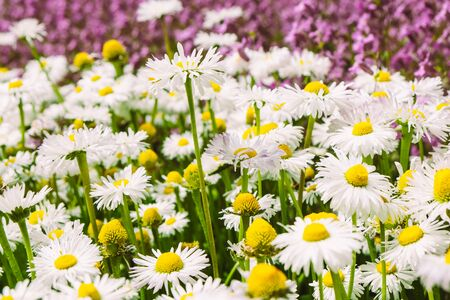 chamomile blossom flowers in garden. Spring beauty nature. 写真素材