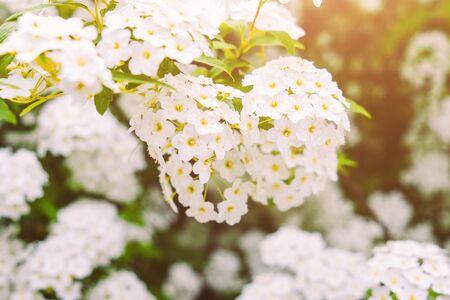 White blossom flowers in garden. Spring beauty nature.