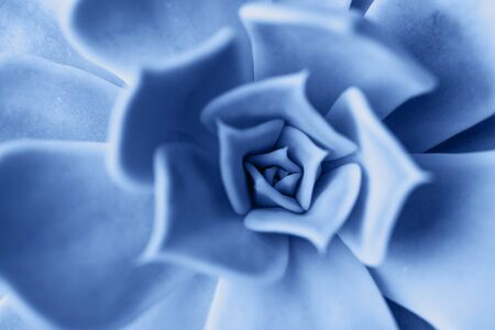 Macro succulent plant colored in classic blue 写真素材