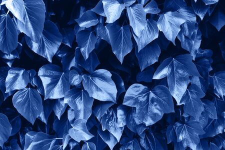 Ivy leaf. Fresh green branch of ivy. Classic Blue color of 2020 concept.