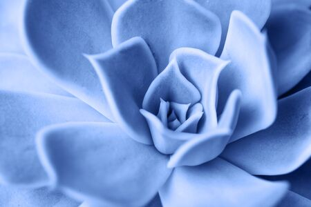 Macro succulent plant colored in clasic blue color of 2020.