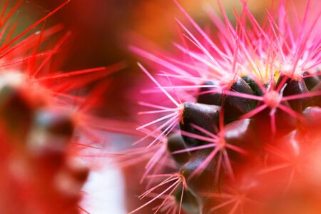Macro photo of pink cactus. Bright and vibrant photo. Close up 写真素材