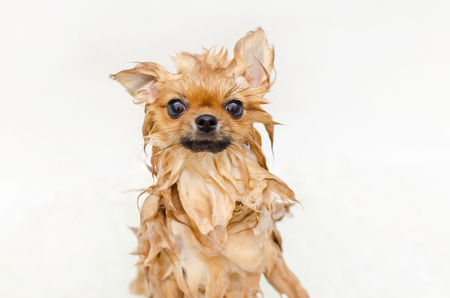 funny small dog pomeranian puppy taking a bath, grooming