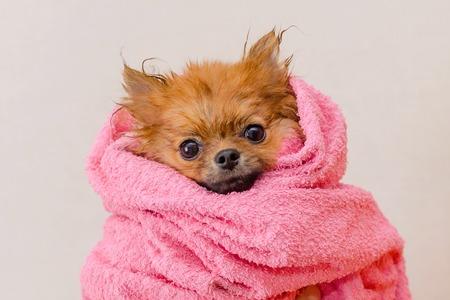 śliczny pomorski piesek w różowym ręczniku po kąpieli, czesaniu, selektywnym skupieniu