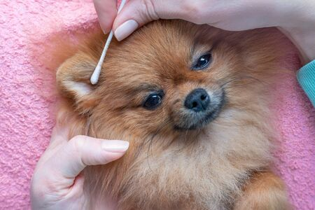 woman cleans ears of a pomeranian dog