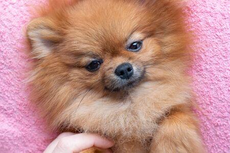 funny pomeranian dog lying on pink towel Stock fotó
