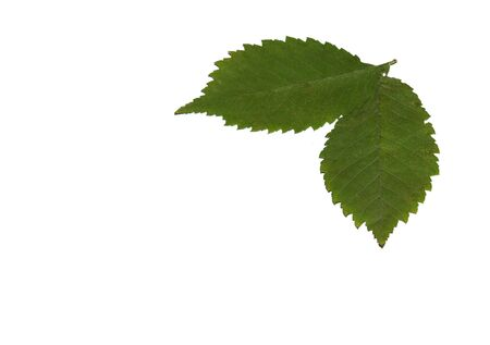 two green leaves isolated on white Stock Photo - 5745052
