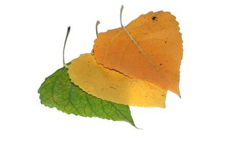 poplars: poplar`s leaves  Stock Photo