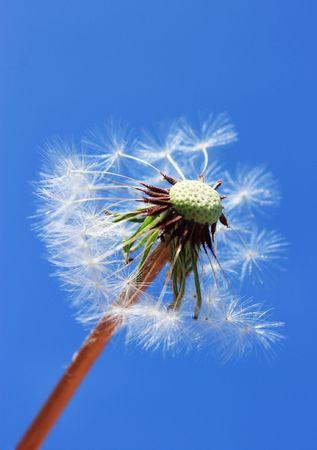 dandelion against blue sky photo