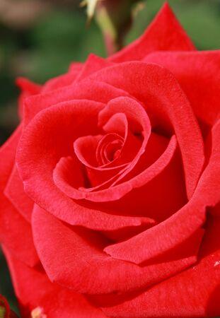 fresh red rose photo