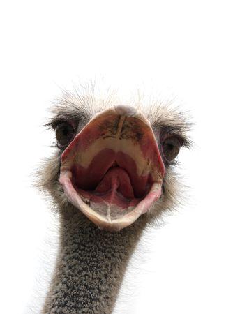 avestruz: cabeza de avestruz aislado